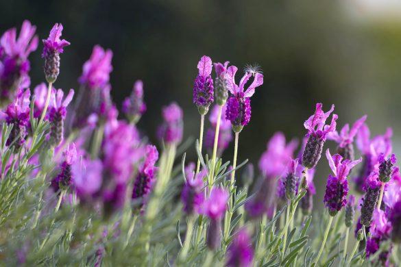 lavendar 1153408 1920