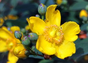 groblumiges st johns wort 373856 1920