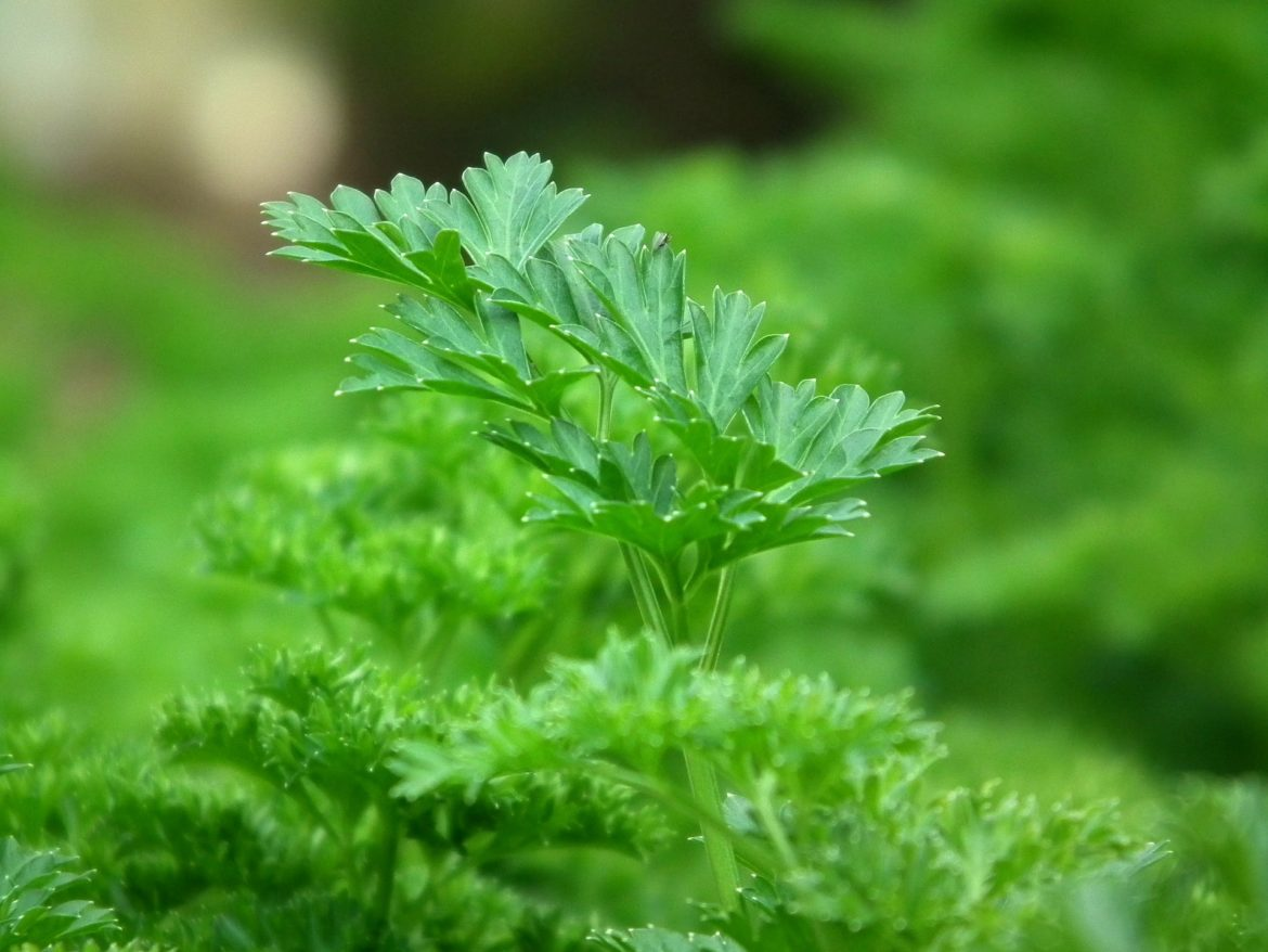 parsley 246557 1920