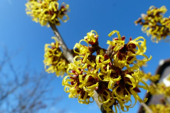witch hazel 244996 1920