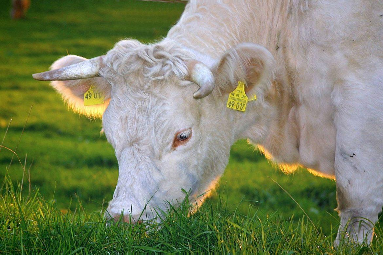 happy cows 263766 1920