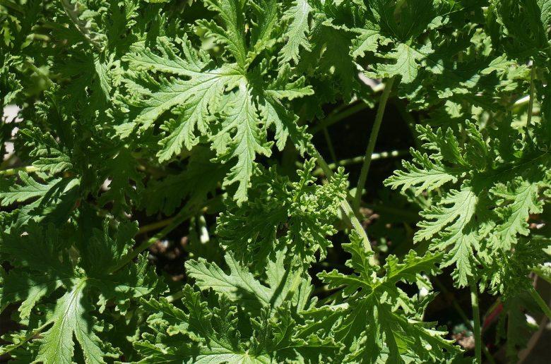 citronella-leaves-1446289_1920