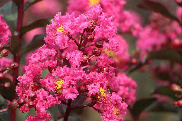 crape-myrtle-flower-4952529_1920